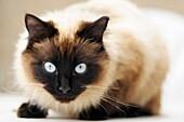 Piercing blue eyes of ´Ragdoll´ breed of domestic cat