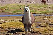 Alpaca in the vicinity of Chachacomani village in Bolivia