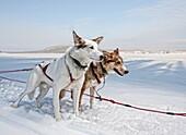 Husky Sled dogs in Lapland, Sweden Huskies have great endurance and speed to pull heavy loads