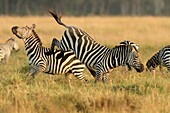Zebra stallions usually fight for possession of females  Fighting starts with kicking with hind legs, biting of mane, neck and legs and rearing up and plunging as the climax draws near  Serious fights last longer and lot of kicking with both hind and fore