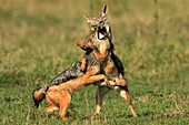 The adult Black Backed jackals have gone to look for food leaving behind 4 pups  The pups start playing simple but energetic games mainly involving biting and chasing each other