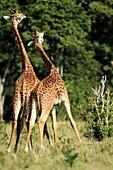 Giraffe males fight all year round  This is also known as ´necking´ where one male lowershis head and swings it towards the other male