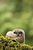 Juvenile Great-horned Owl - Camano Beach State Park, Washington