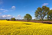 Rape field in the sunlight, nature park Holsteinische Schweiz, Baltic Sea, Schleswig-Holstein, Germany, Europe