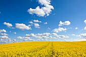 Clouds over rape field, nature park Holsteinische Schweiz, Baltic Sea, Schleswig-Holstein, Germany, Europe