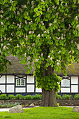Horse chestnut in front of a half-timbered house with thatched roof, Sieseby, Baltic Sea, Schleswig-Holstein, Germany, Europe