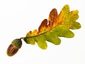 Close up on an oak, acorn tree, autumn