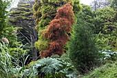 U.K , Cornwall, Glendurgan Garden, Taxodium distichum