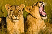 Africa, Zimbabwe, Midlands province, Antelope Park, African Lion Environment and Research Trust (ALERT), female lions (Leo Panthera)