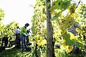 Grape-gathering in Alsace