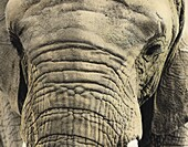 Painted photograph, close-up portrait  of an elephant on photographic barite paper