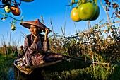 Myanmar (Burma), Shan State, Inle Lake, Daw Ni and Ma Hnaung harvesting tomatoes in their floating garden