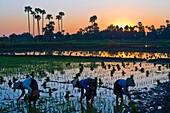 Myanmar (Burma), Mandalay State, Ava, Ma Te Tin, Marmaraye and San San Win planting rice shoots