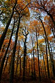 BEECH TREES FOREST IN AUTUMN, FORET DE COMPIEGNE, OISE, PICARDIE, FRANCE