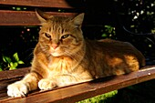 DOMESTIC CAT RESTING ON BENCH IN GARDEN, FRANCE