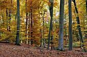 BEECH TREES FOREST IN AUTUMN, FORET DE RETZ, AISNE, PICARDIE, FRANCE