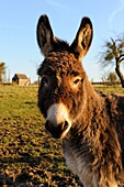DOMESTIC DONKEY (EQUUS ASINUS) IN FIELD, PICARDIE, FRANCE