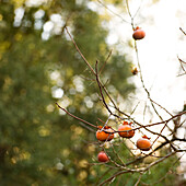 Persimmons on Tree Branches