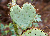 Heart shaped cactus at Arizona - Sonora Desert Museum, Sonora Desert, Arizona, USA, America
