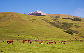 Cows out at feed, cattle farm near Big Sur, Pacific coast, Highway 1, California, USA, America