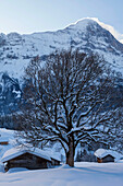 Sycamore Maple tree, acer pseudoplatanus, in winter with alpine cottage, in the background Eiger North Wall above Grindelwald, Jungfrauregion, Bernese Oberland, Canton Bern, Switzerland, Europe