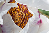 Detail Pfingstrose, Blüte, Blütenkelch, Stamen, Staubblatt, Garten, Natur