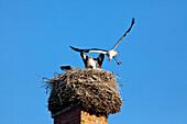 Stork family nest on a chimney, Breeding, Birds