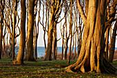 Beech grove, so-called ghost forest, at seaside resort Nienhagen, Mecklenburg Western Pomerania, Germany, Europe