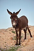Mule in the back country of the Dead Sea, habitat of Beduins, Ount Nebo, Jordan, Middle East, Asia