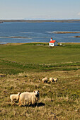 Sheep at Hvamms fjord on the Snaefellsnes peninsula, North coast, West Iceland, Europe