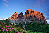Alpine roses in front of Langkofel range and Steinerne Stadt, Langkofel, Dolomites, UNESCO world heritage site Dolomites, South Tyrol, Italy