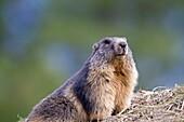 France, Alpes de Hautes Provence , Alpine Marmot Marmota marmota , order : Rodentia , family : Sciuridae