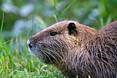 France , Bouches du Rhone, Camargue , Coypu or Nutria Myocastor coypus , Order: Rodentia , Family: Myocastoridae
