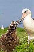 Hawaï , Midway , Sand Island , Laysan Albatross ,  Phoebastria immutabilis , adult with young