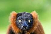 France , Ille-et-Vilaine , Château Zoo de la Bourbansais ,Red ruffed lemur Varecia rubra ,order : Primates , family : Lemuridae