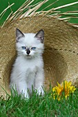 Birma kitten sitting in straw hat and looking at camera