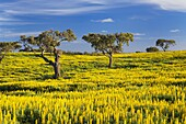 Holm oak trees with white stork Ciconia ciconia nest in a yellow carpet of Lupin flowers, Alentejo, Portugal