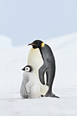 Emperor penguin Aptenodytes forsteri, chick and adult  Location: Snow Hill Island, Antarctic Peninsula, Antarctica
