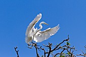 A great white egret in flight at the Alligator Farm rookery in St  Augustine, Florida, USA