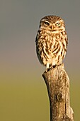 Little Owl in the host early in the afternoon when it starts its activity