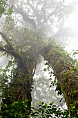 Moss and epiphytes growing on trees in the Monteverde Cloud Forest Reserve, Costa Rica