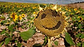 Field of sunflowers  Villalval, Burgos  Castila-Leon  Spain  Camino de Santiago  The way of St  James