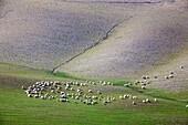 flock of sheep and landscape, crete senesi, siena, tuscany, italy, europe gregge di pecore e paesaggio, crete senesi, siena, toscana, italia, europa