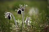 Pulsatilla nigricans Pasque Flower, location: Holubyho luky, Male Karpaty, Slovakia