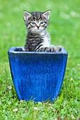 Kitten, playing in plant pot on garden lawn, Lower Saxony, Germany
