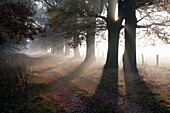 Common Oak Quercus robur, Allee in Autumn Mist and Morning Sunshine, Beberbeck, North Hessen, Germany