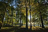 Beech Tree Fagus sylvatica, Autumn Morning Sunshine, Shining through Trees in Woodland, Sjaelland, Denmark