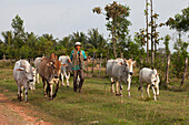 Farmer with cattles in the Kampot province, Cambodia, Asia
