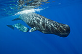 Sperm Whale Mother and Calf, Physeter macrocephalus, Caribbean Sea, Dominica, Leeward Antilles, Lesser Antilles, Antilles, Carribean, West Indies, Central America, North America