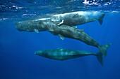 Social bahavior of Sperm Whale, Physeter macrocephalus, Caribbean Sea, Dominica, Leeward Antilles, Lesser Antilles, Antilles, Carribean, West Indies, Central America, North America